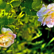 Polypetalous hybrid (Rosa odorata) . - Stock Photo