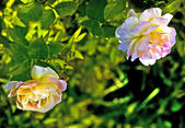 Polypetalous hybrid (Rosa odorata) . — Stock Photo