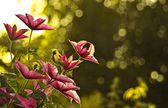 Clematis (virgin's bower) — Stock Photo