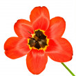 Stock Photo: Mature Tulip