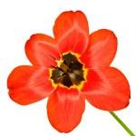 Mature Tulip — Stock Photo