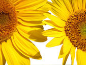 Two sunflowers on white — Stock Photo