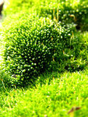 Carpet Moss, Extreme Closeup — Stock Photo