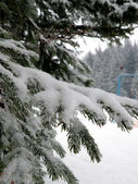 Pines with Snow — Stock Photo
