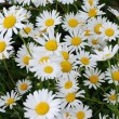 Camomile meadow - Stock Photo