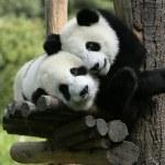 Panda — Zdjęcie stockowe #1321542