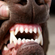 Stock Photo: Dog Teeth