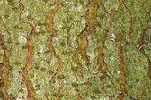Текстура дерева кора — Стоковое фото