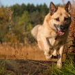 Jumping West Siberian laika (husky) - Stock Photo