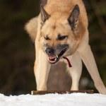 Agressive dog — Stock Photo #1033878