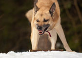 Agressive dog — Stockfoto