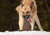 Saldırgan köpek — Stok fotoğraf
