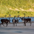 Reindeers on the coast of the river - Stock Photo