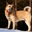 West Siberian Laika - Stock Photo