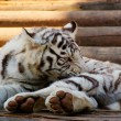 Young White Bengal Tiger - Stock Photo