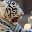 Young White Bengal Tigers - Stock Photo
