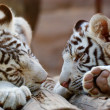 Stock Photo: Young White Bengal Tigers