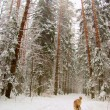 West Siberian Laika in winter forest - Stock Photo