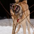 Gnawing dog - Stockfoto