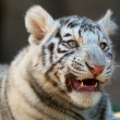 Stock Photo: Young White Bengal Tiger