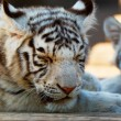 Stock Photo: Young White Bengal Tigers in Moscow Zoo