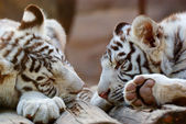Young White Bengal Tigers — 图库照片