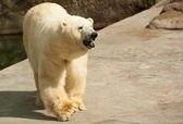 Polar bear in Moscow zoo — Stock Photo