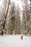 West-siberische laika in winter forest — Stockfoto