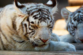 Young White Bengal Tigers in Moscow Zoo — Stock Photo
