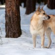 Постер, плакат: Finnish Spitz dog
