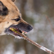 Aggressively looking dog gnawing a stick - Stock Photo