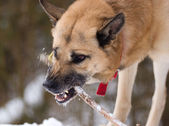Aggressively looking dog with a stick — Stok fotoğraf