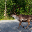 Royalty-Free Stock Photo: Reindeer in town suburb in Norway