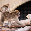 Japanese Macaque in Moscow zoo - Stock Photo