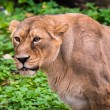 Stock Photo: Lion in Moscow zoo