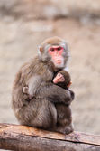 Japanese Macaque in Moscow zoo — Stockfoto