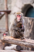 Japanese Macaque in Moscow zoo — Stock Photo