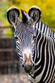 Zebra in Moscow zoo — Stock Photo