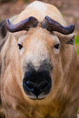 Sichuan-Takin — Stock Photo