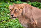 Lion in Moscow zoo — Stock Photo