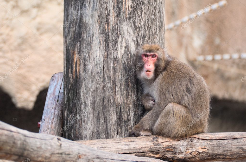 Japanese Macaque in Moscow zoo — Stock Photo #1071894