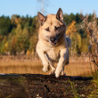 Stock Photo: Jumping West Siberilaik(husky)