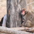 Japanese Macaque in Moscow zoo — Stock Photo #1084431