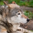 Stock Photo: Wolf in Moscow zoo