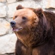 Brown bear in Moscow zoo — Stock Photo