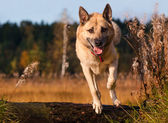 Jumping West Siberian laika (husky) — Stockfoto