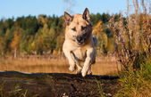 Jumping West Siberian laika (husky) — Photo