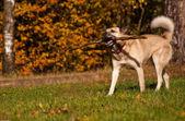West Siberian laika playing with stick — Stock Photo