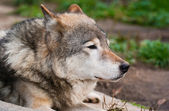 Wolf in Moscow zoo — Stock Photo