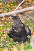Golden Eagle in Moscow zoo — Stock Photo